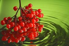 Free Guelder-rose 5 Stock Photography - 1907282