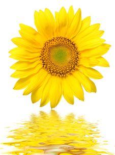Free Sunflower Stock Image - 1907521