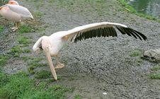 Pelican 6 Royalty Free Stock Photo