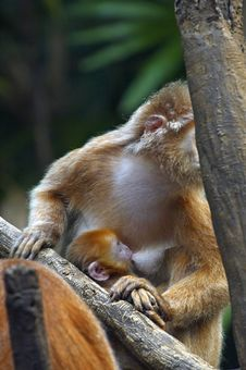 Free Monkey Feeding Her Young Stock Images - 1909724