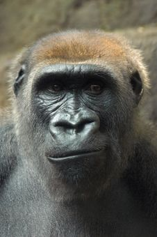 Free Frowning Gorilla Stock Images - 1909814