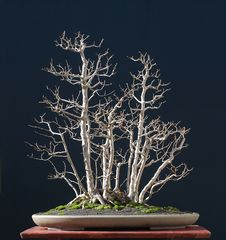 Free Field Maple As Bonsai In Winter Stock Images - 1909894