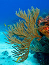 Free Gorgonian II Royalty Free Stock Image - 19007636
