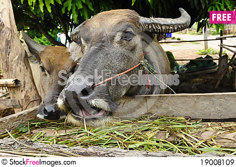 Free Buffaloes Eat Grass Royalty Free Stock Images - 19008109