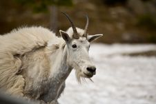 Free Mountain Goat 1 Royalty Free Stock Images - 19003209