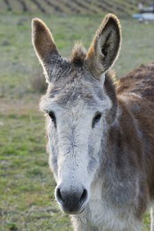 Free Donkey. Royalty Free Stock Photo - 19003285