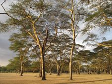 Free Kenyan Acacia In The Afternoon Royalty Free Stock Image - 19005886