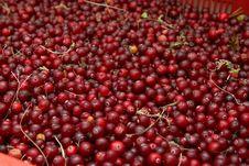 Free Wild Cranberries Royalty Free Stock Image - 19006146