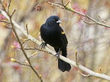 Free Red-Winged Blackbird Royalty Free Stock Image - 19006346