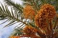 Free Date Palm Tree Stock Photos - 19012353
