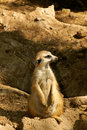 Free Meerkat Lookout Royalty Free Stock Photos - 19013188
