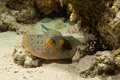 Free Blue Spotted Stingray Royalty Free Stock Image - 19014806