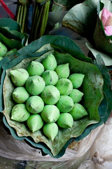 Bunch Of Green Lotus Blossom Buds Royalty Free Stock Image