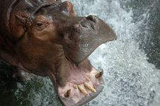 Free Thirsty Hippo Stock Photography - 19012172