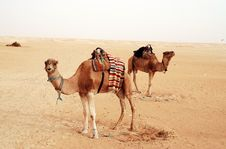 Free Camel Royalty Free Stock Images - 19012399