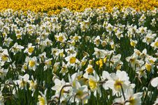 Free Sea Of Daffodils Stock Photos - 19012813