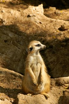 Free Meerkat Lookout Royalty Free Stock Photos - 19013188