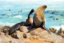 Free Young Seal At Breast Feeding Royalty Free Stock Image - 19013466