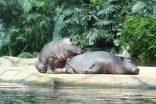 Two Hippos Stock Images