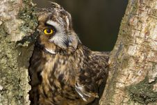 Free Long Eared Owl Stock Image - 19015471