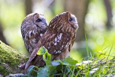 Free Two Tawny Owls Stock Photo - 19015510
