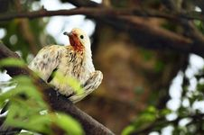 Free Wet White Pigeon On Tree Branch. Stock Image - 19016051