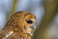 Free Portrait Of Tawny Owl Royalty Free Stock Image - 19016166
