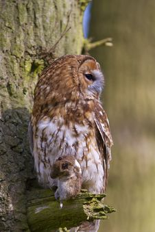 Free Tawny Owl With Prey Royalty Free Stock Photos - 19016178