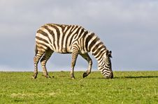 Free Zebra Royalty Free Stock Photo - 19016395