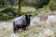 Free One Horned Goat Stock Images - 19016444