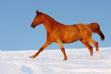 Free Red Horse Runs Gallop In Winter Royalty Free Stock Images - 19018969