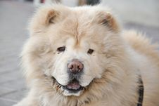 Free Chow Chow Face Stock Images - 19019664