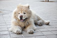 Free Chow Chow Horizontal Royalty Free Stock Images - 19019699