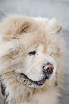 Free Chow Chow Vertical Royalty Free Stock Photo - 19019735