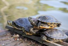 Free Turtles Horizontal Royalty Free Stock Photography - 19019987