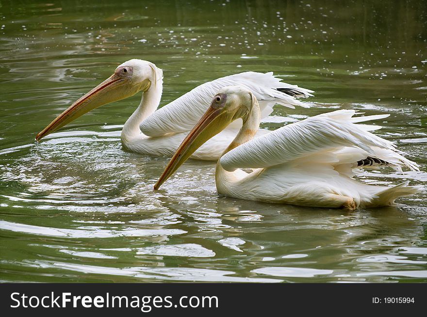 Pair of pelicans wading in a pond.