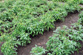 Free Plantation Of A Blooming Tomatoes Royalty Free Stock Photo - 19022775