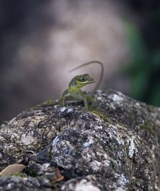 Small Alert Tropical Lizard. Royalty Free Stock Photo