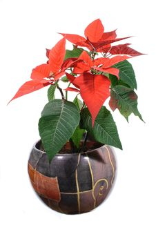 Free POINSETTIA PULCHERRIMA Royalty Free Stock Images - 19022529
