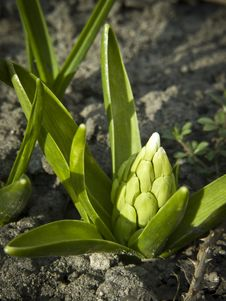 Free First Hyacinth Bud Royalty Free Stock Image - 19022686