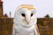 Free Barn Owl Royalty Free Stock Photo - 19024235