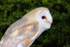 Free Barn Owl Stock Photos - 19024313