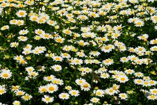 Free Daisy Royalty Free Stock Photos - 19025018