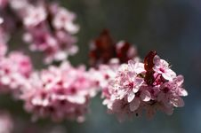 Free Cherry Tree Blossom Royalty Free Stock Images - 19027739