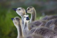 Free Goslings Go To The River Stock Image - 19029131