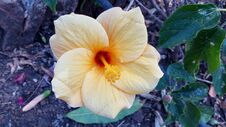 Free Beautiful Picture Of Big Hibiscus Flower Royalty Free Stock Image - 190297056