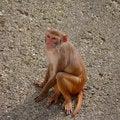 Free Rhesus Monkey At The Heidelberg S Zoo, Germany Royalty Free Stock Image - 19037796