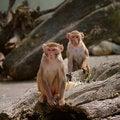 Free Rhesus Monkey At The Heidelberg S Zoo, Germany Stock Photography - 19037802