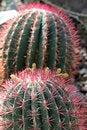 Free Globe Cactus Royalty Free Stock Images - 19039029