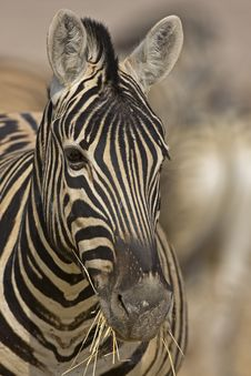 Free Portrait Of Burchells Zebra Stock Images - 19030434